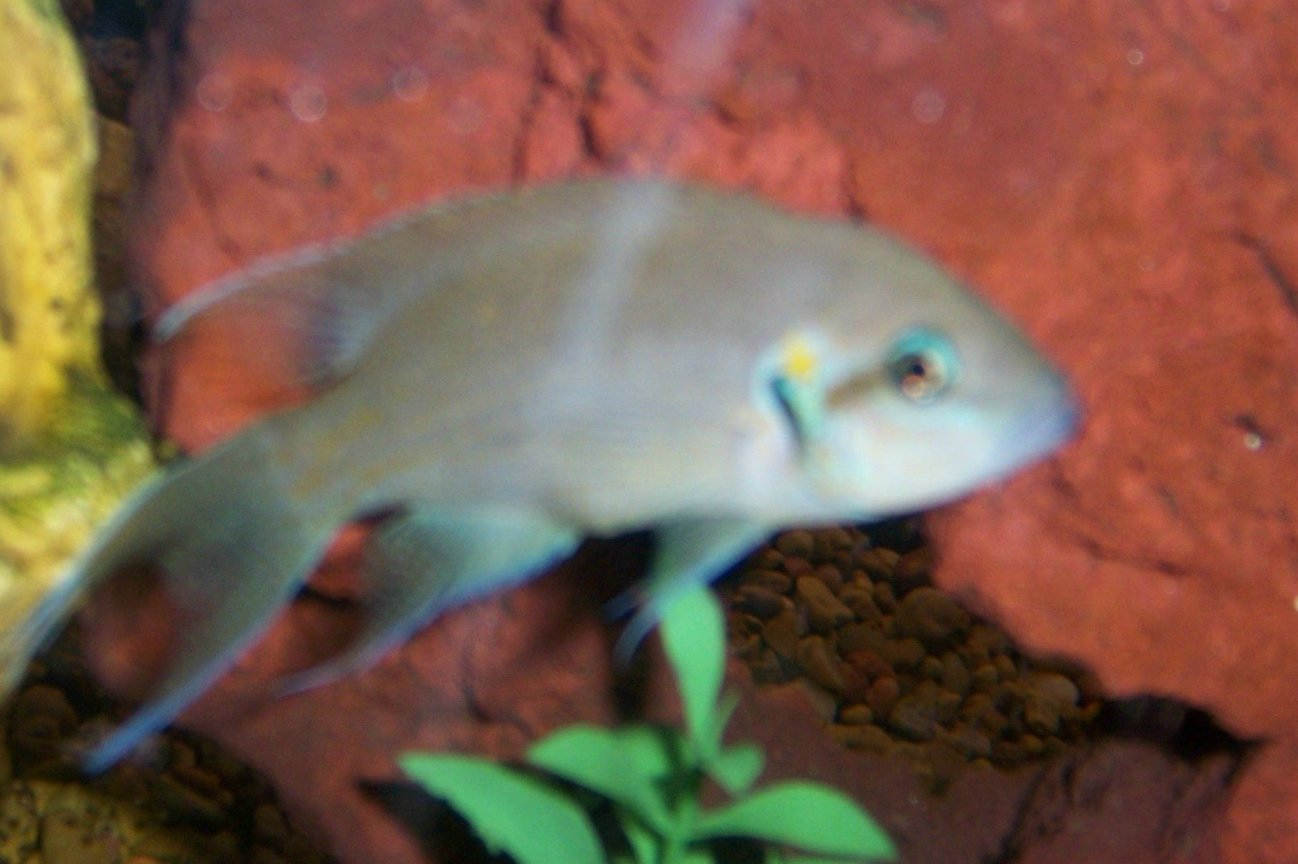 freshwater fish - neolamprologus brichardi - brichardi cichlid stocking in 30 gallons tank - one of our fish...I forgot what kind