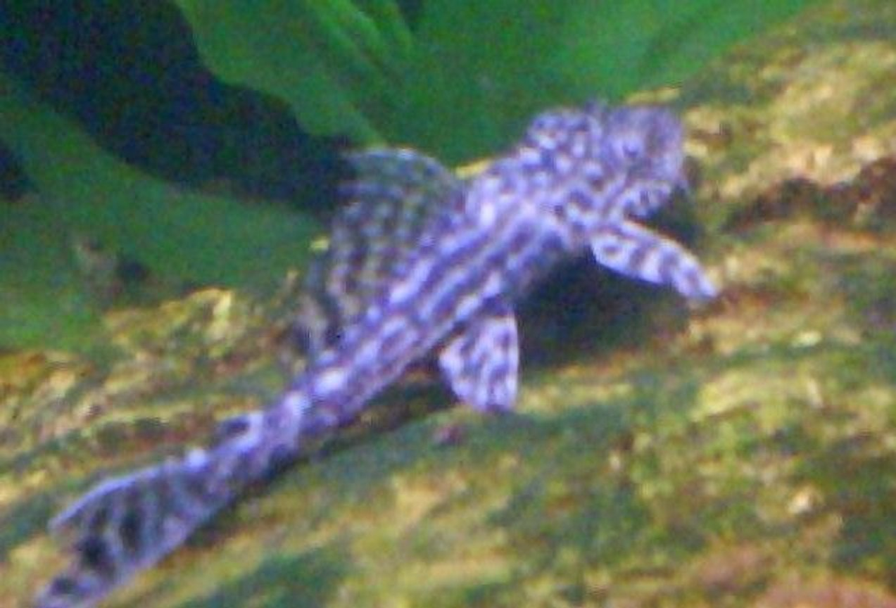 freshwater fish - peckoltia sp. - gypsy king tiger pleco (l-66) stocking in 29 gallons tank - pleco