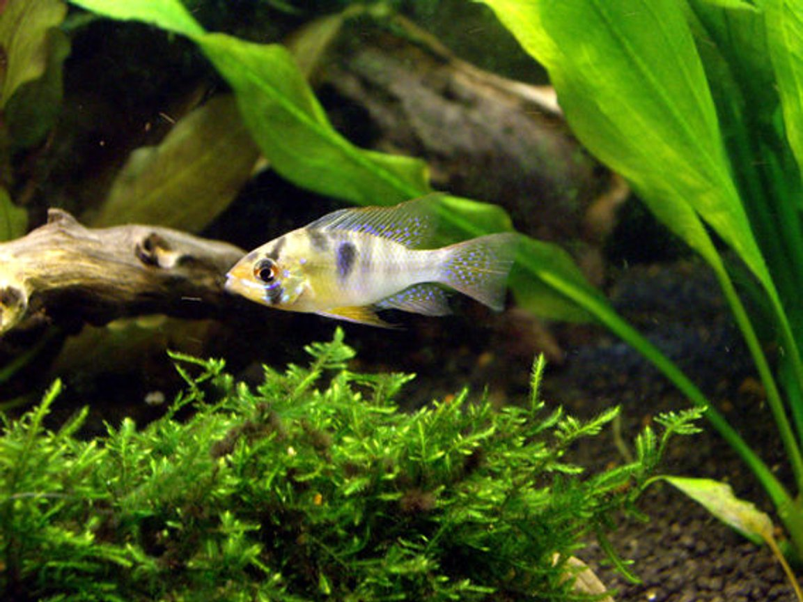 freshwater fish - papiliochromis ramirezi - german blue ram stocking in 40 gallons tank - Mikrogeophagus ramirezi
