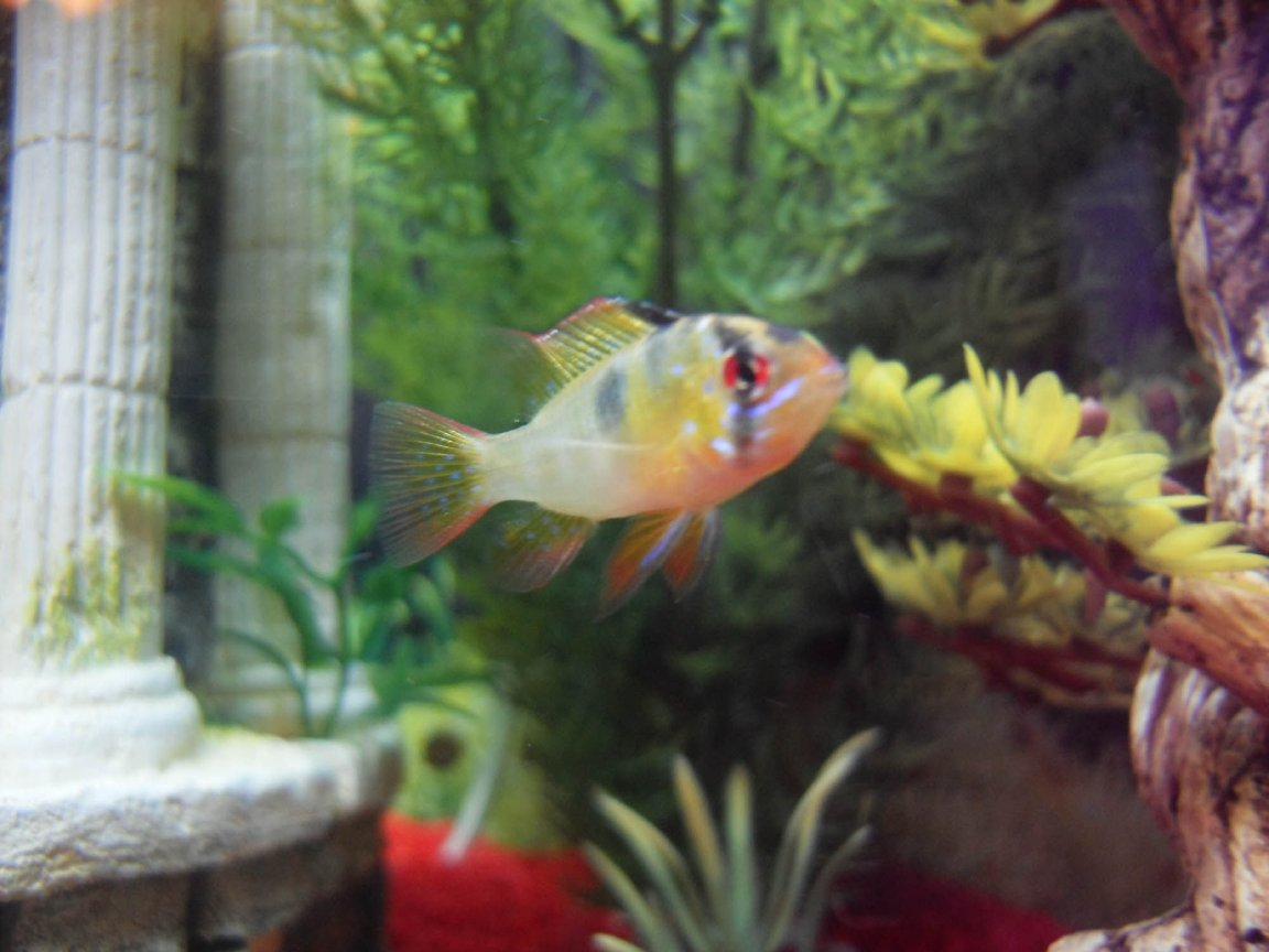 freshwater fish - papiliochromis ramirezi - german blue ram - Our new baby Ram Cichlid