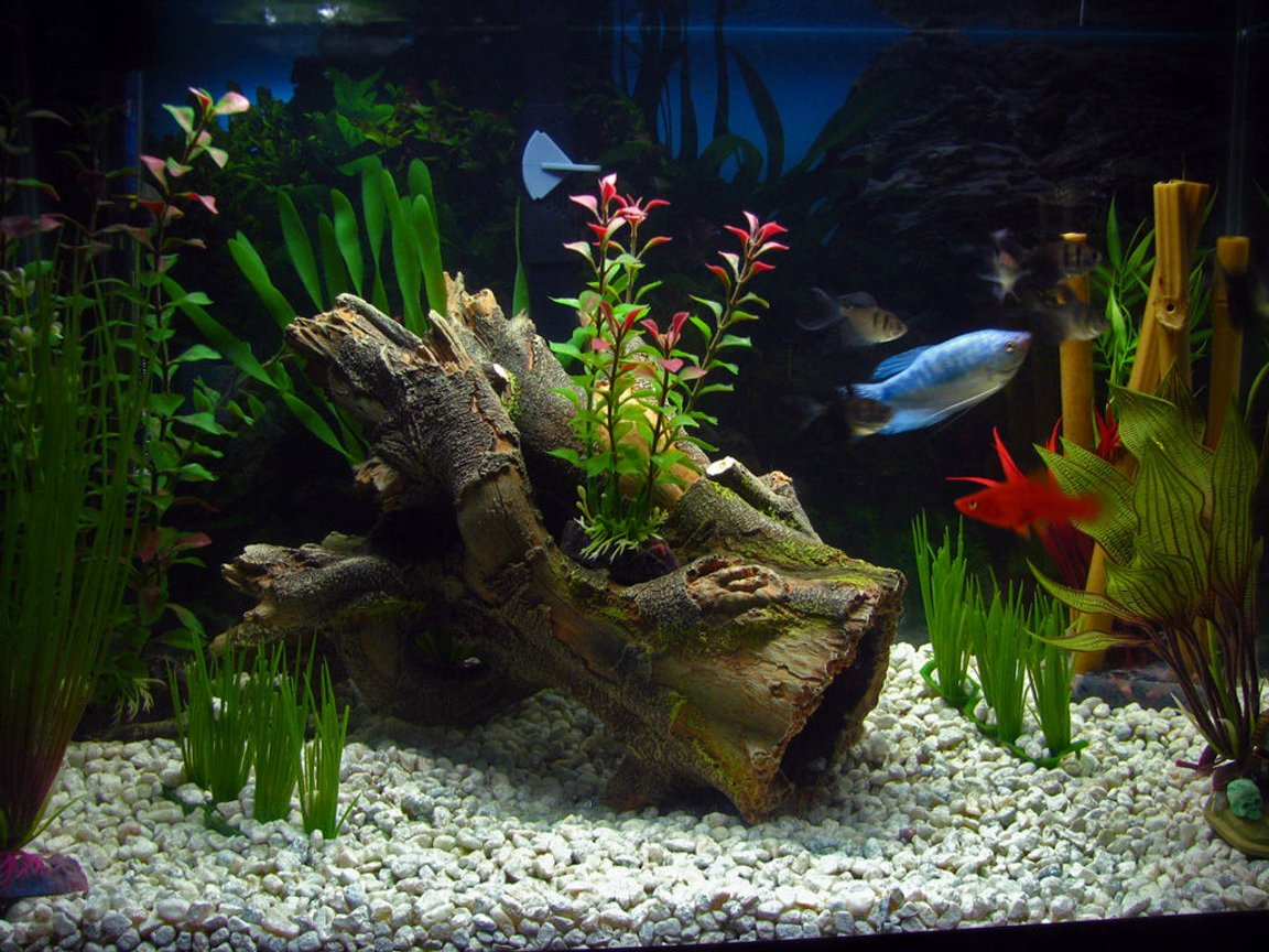 freshwater fish - colisa lalia - dwarf gourami stocking in 20 gallons tank - 20 Gallon Tank