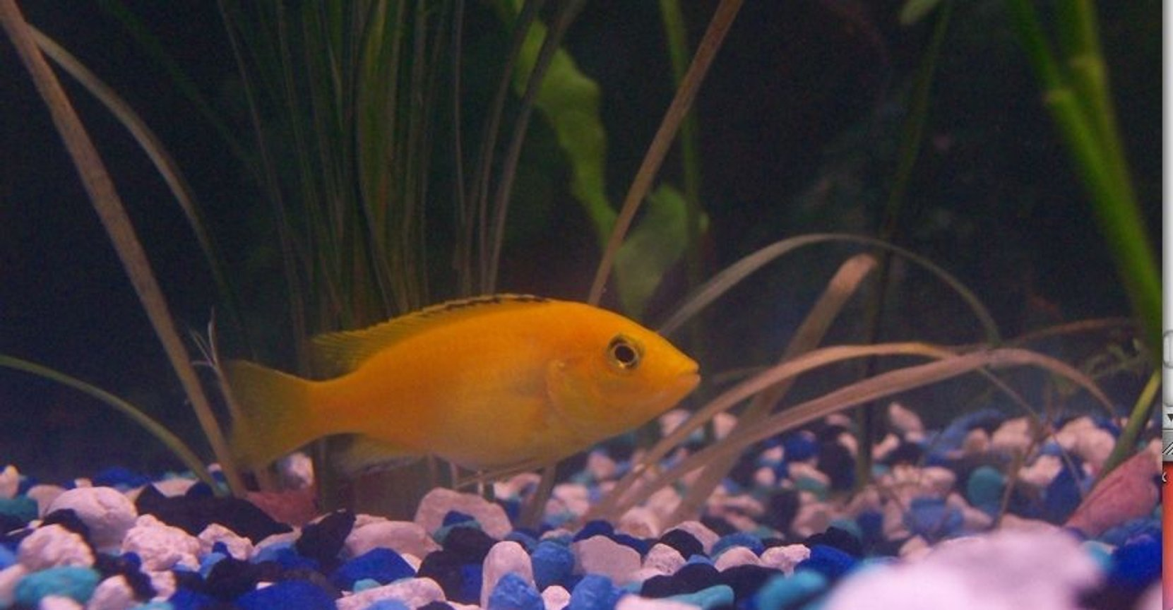 freshwater fish - labidochromis caeruleus - electric yellow cichlid stocking in 55 gallons tank - Yellow Cichlid