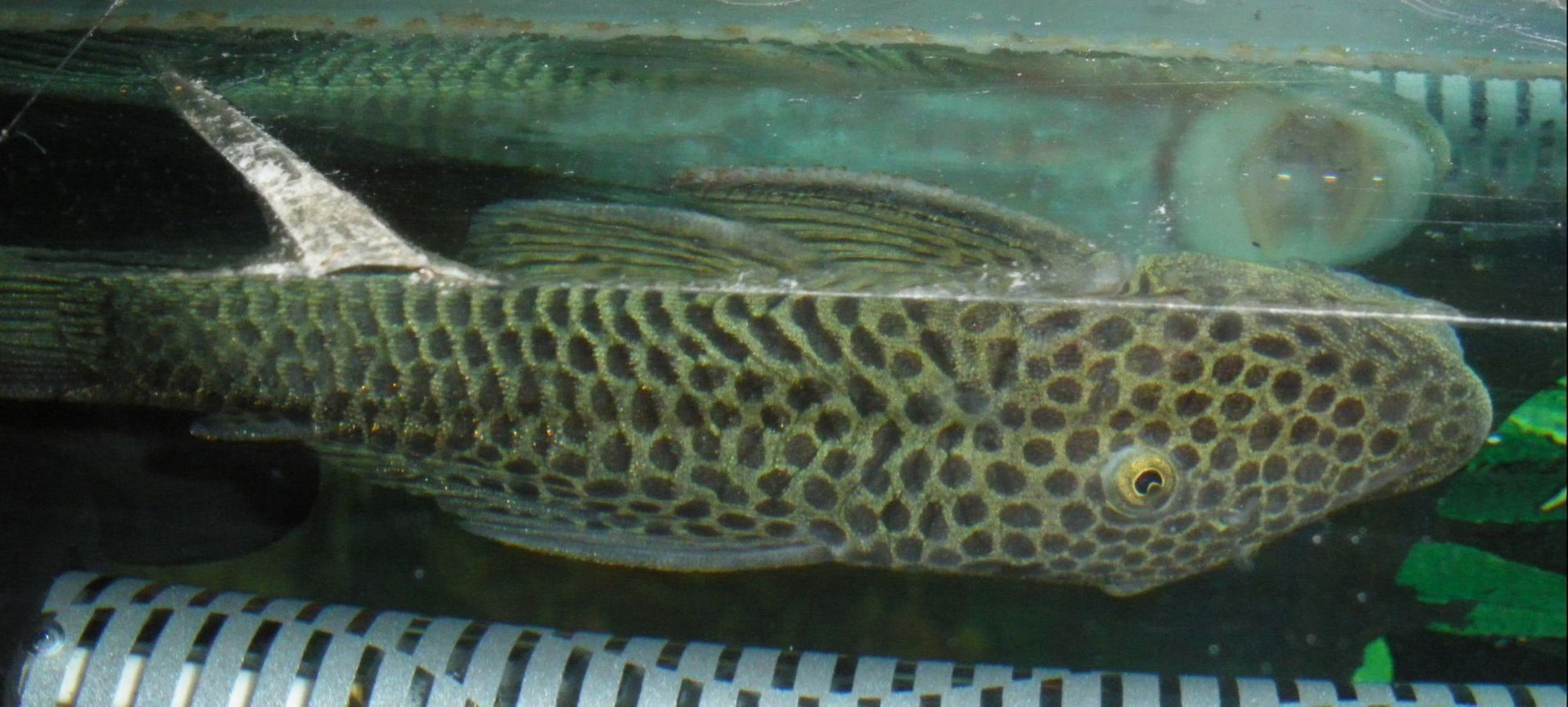 freshwater fish - chaetostoma milesi - rubbernose pleco (l187) stocking in 55 gallons tank - Rubber Nosed Pleco - Rover