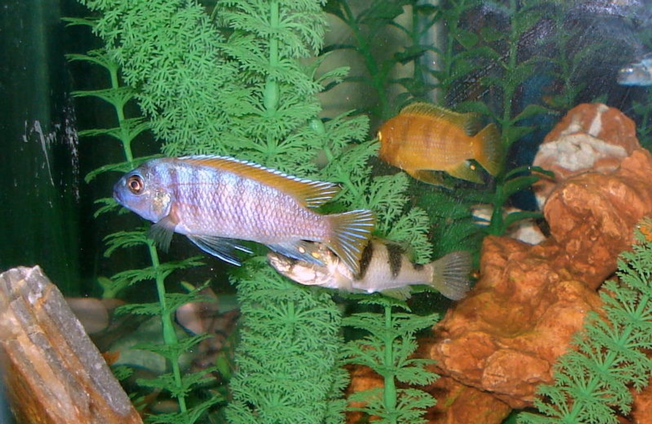 freshwater fish - labidochromis sp. - hongi stocking in 46 gallons tank - Lots & lots of hiding places!
