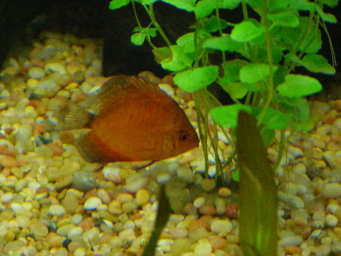 freshwater fish - symphysodon sp. - yellow marlboro discus stocking in 55 gallons tank - Pic #2 of Discus hiding behind a Mint Charlie