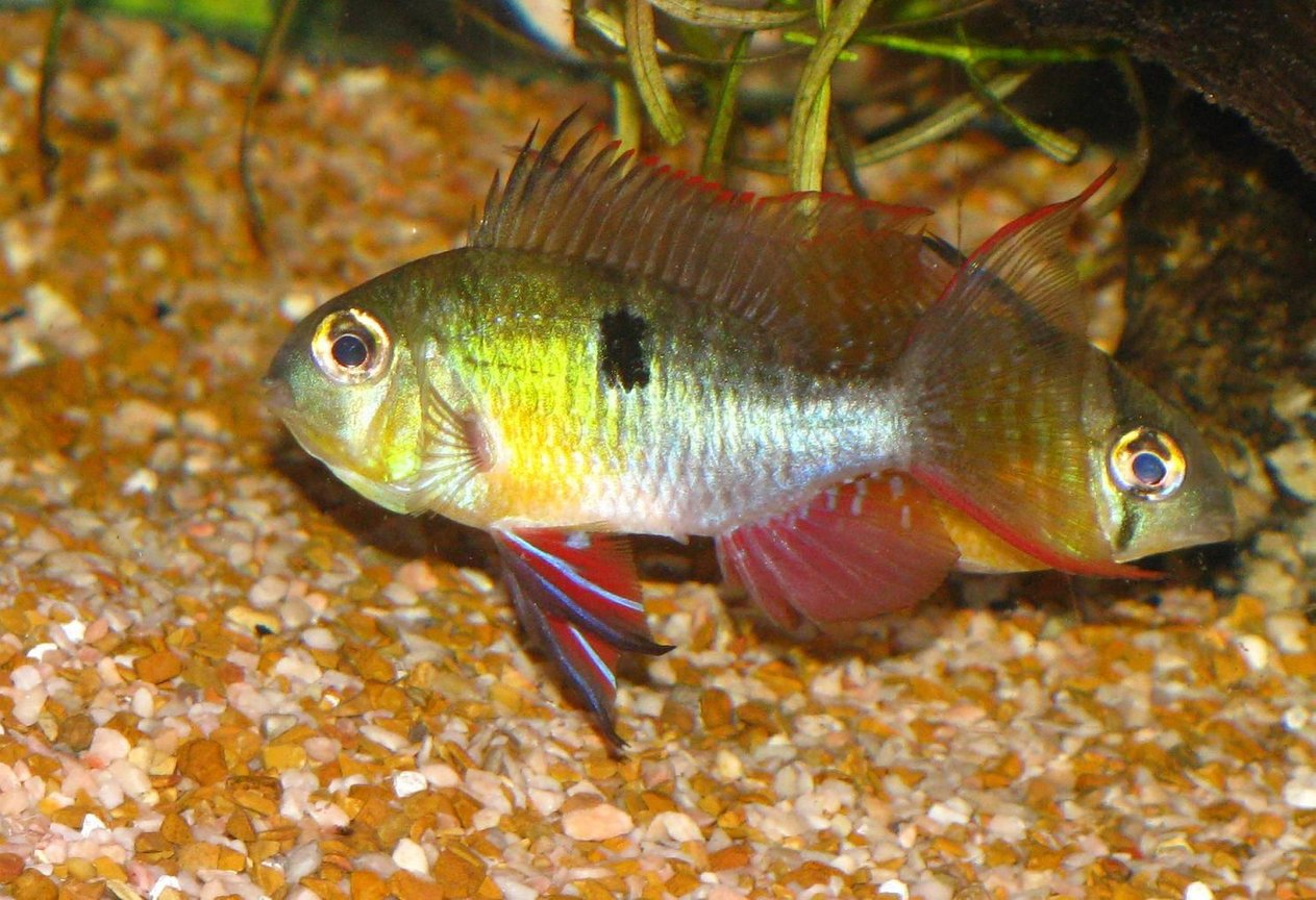 freshwater fish - microgeophagus altispinosa - bolivian ram stocking in 55 gallons tank - altispinosus dominant male