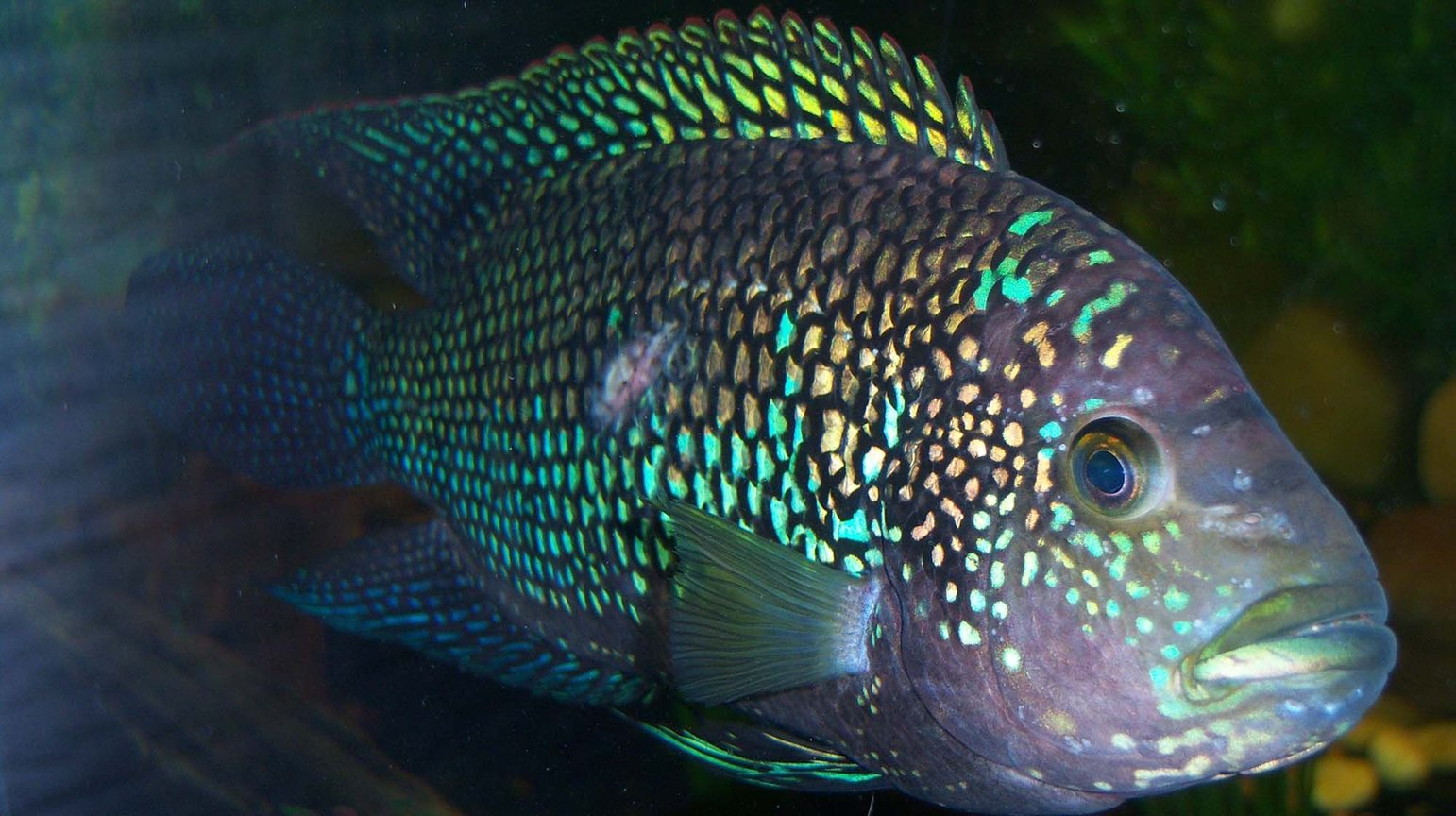 freshwater fish - nandopsis octofasciatum - jack dempsey stocking in 150 gallons tank - 7 inch Jack Dempsey Cichlid