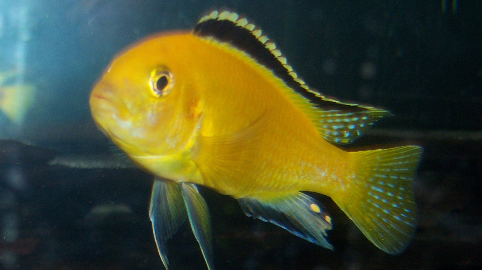 freshwater fish - labidochromis caeruleus - electric yellow cichlid stocking in 150 gallons tank - yellow-lab