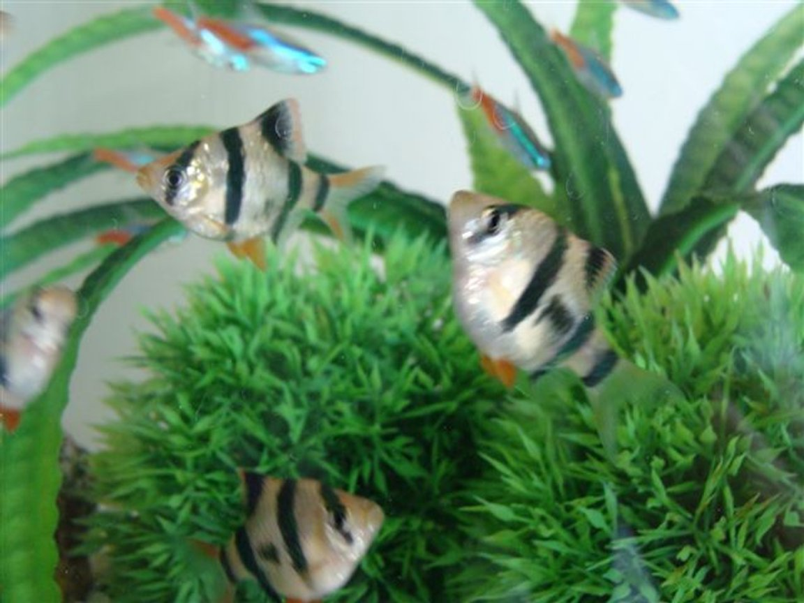 freshwater fish - puntius tetrazona - tiger barb stocking in 10 gallons tank - these are my Tiger Barbs and my neons are in the background