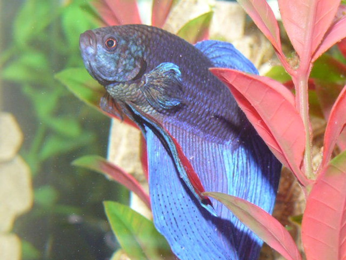 freshwater fish - betta splendens - betta - male stocking in 33 gallons tank - Siamese Fighter fish