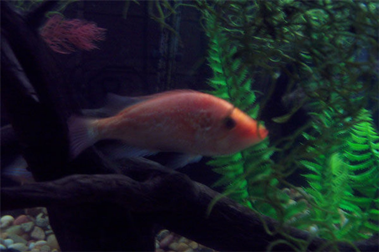 freshwater fish - petenia splendida - red snook stocking in 75 gallons tank - Red Snook