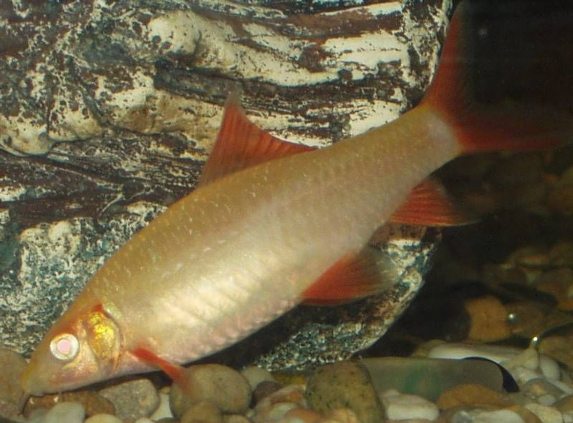 freshwater fish - epalzeorhynchos frenatus - albino rainbow shark stocking in 240 gallons tank - our albino red tipped shark approx 3 inches
