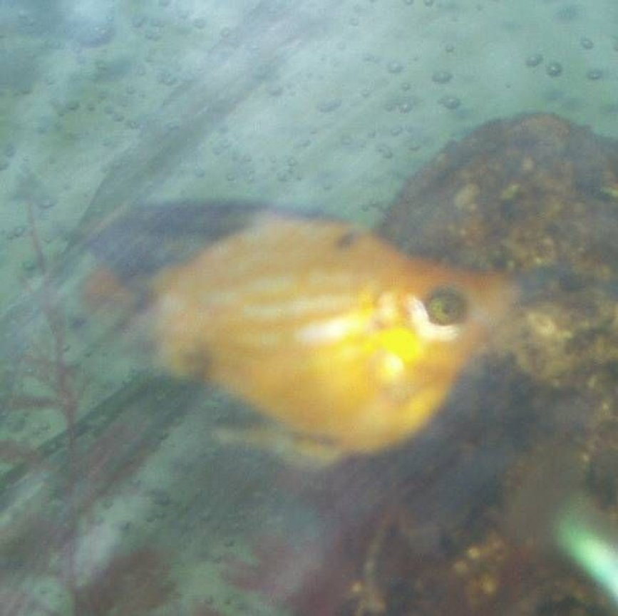 freshwater fish - poecilia latipinna - balloon molly stocking in 240 gallons tank - our balloon molly