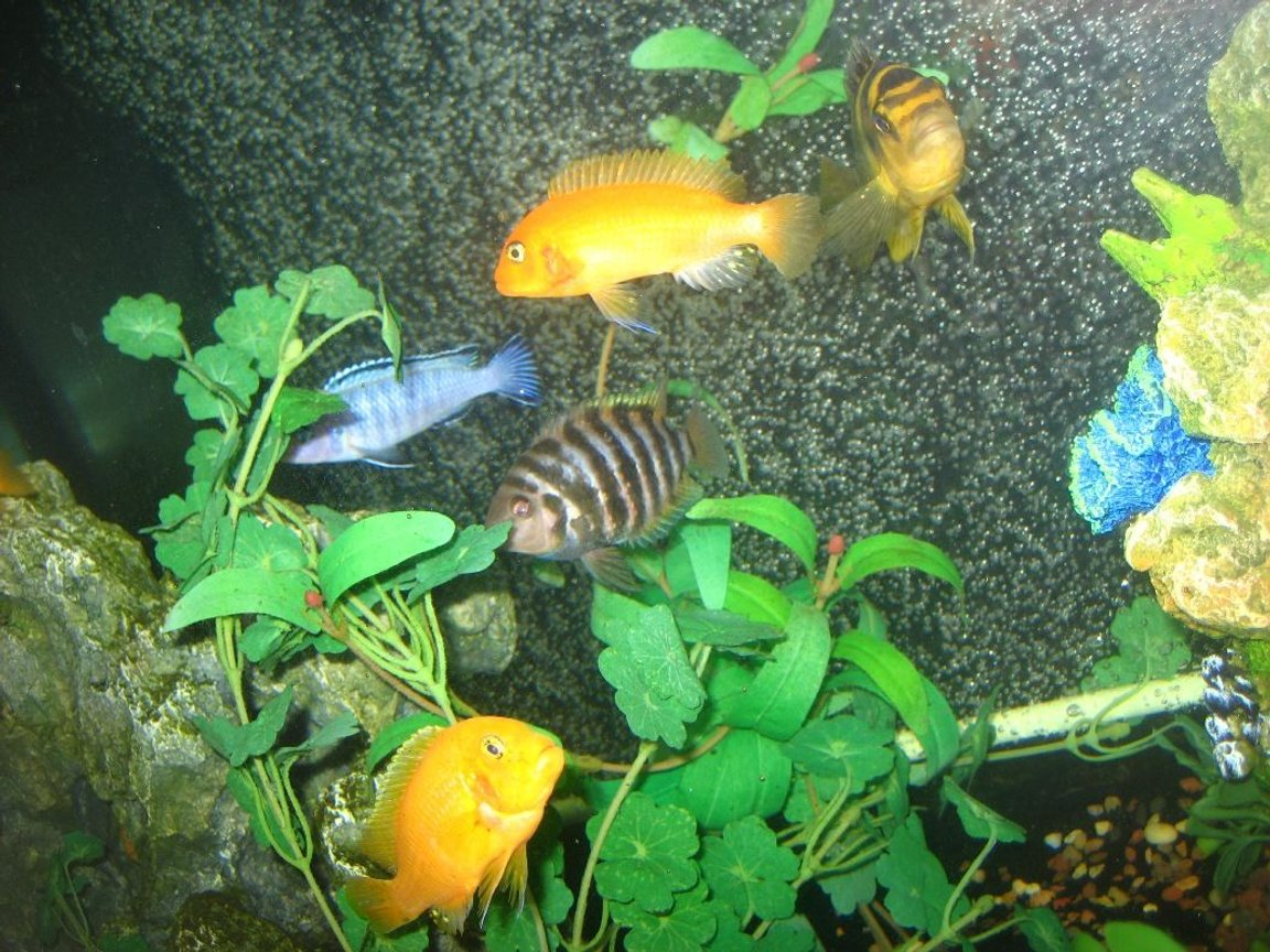 freshwater fish - archocentrus nigrofasciatus - black convict cichlid stocking in 60 gallons tank - Some cichlids I have