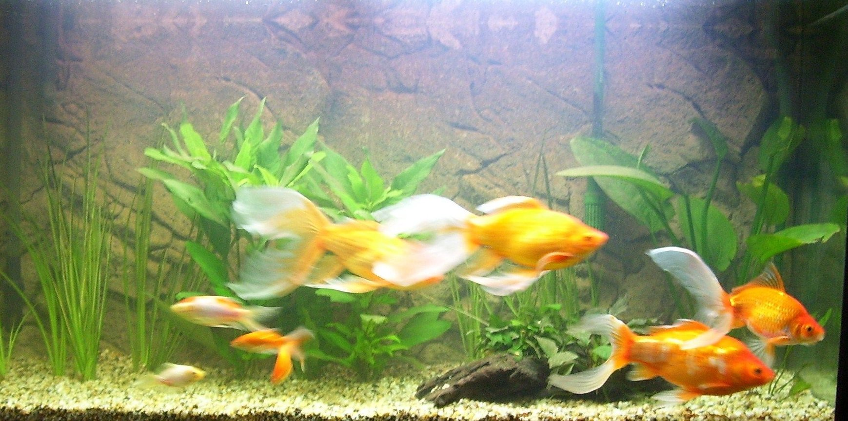 freshwater fish - carassius auratus - fantail goldfish, red stocking in 64 gallons tank - pic taken today.