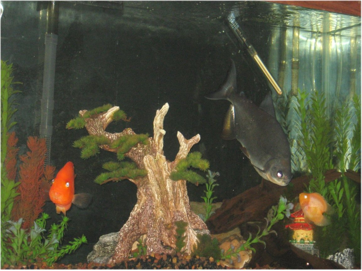 freshwater fish - heros severus x amphilophus citrinellum - blood parrot stocking in 45 gallons tank - My 45 Gallon... :)