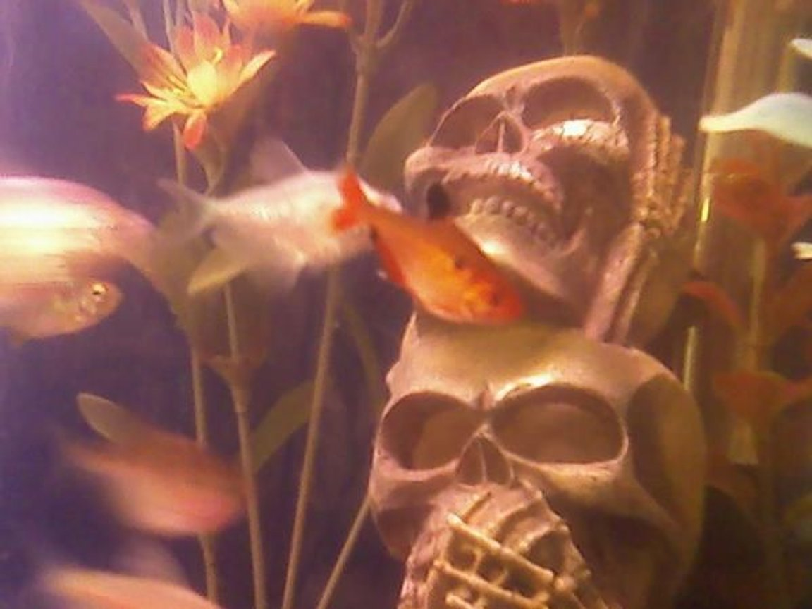 freshwater fish - hyphessobrycon callistus - red minor serpae tetra stocking in 29 gallons tank - serpae tetra hanging out by the skulls. hear no evil, see no evil, speak no evil skulls...and the upside down catfish waiting to attack out of the eye...