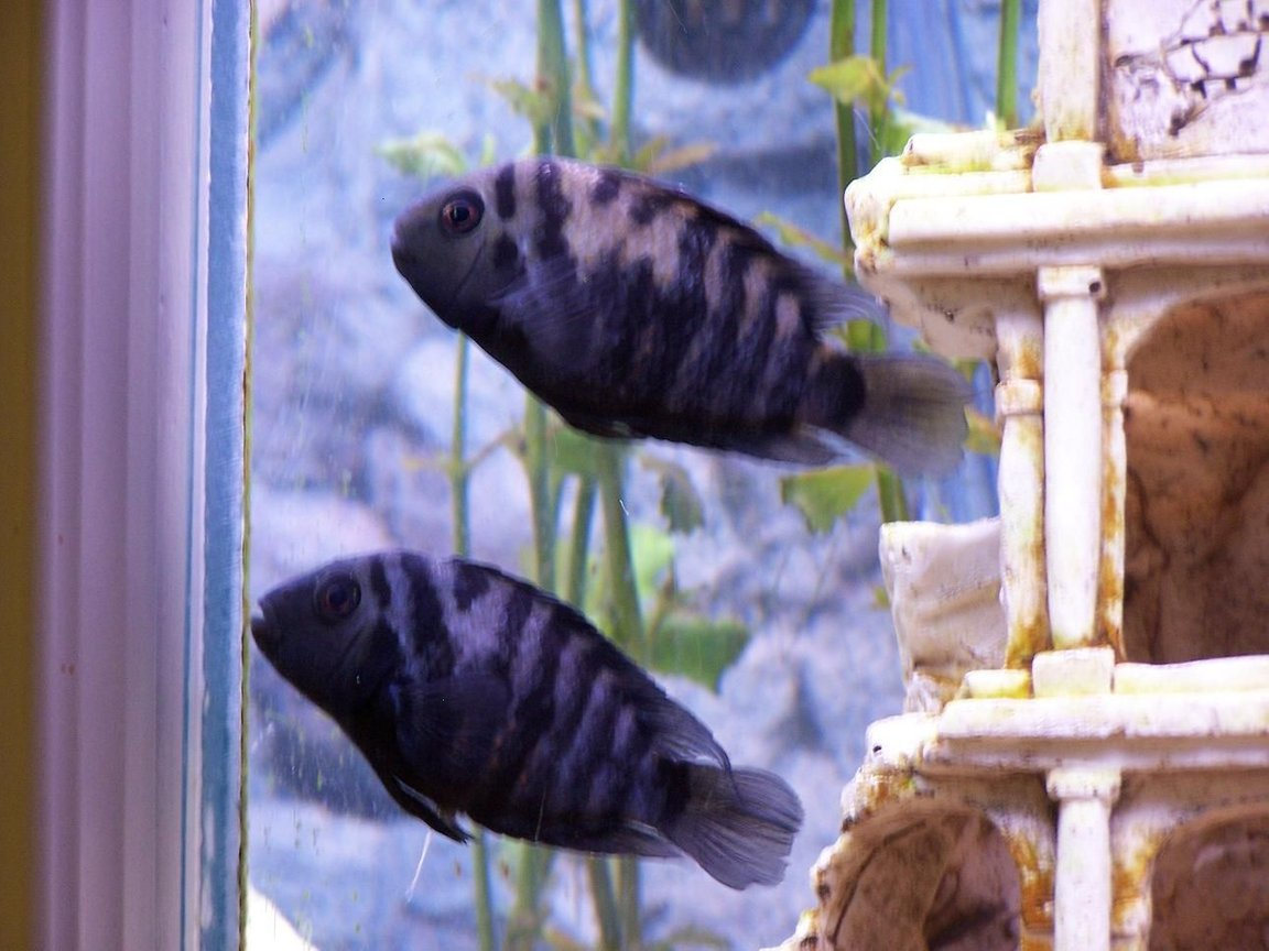 freshwater fish - archocentrus nigrofasciatus - black convict cichlid stocking in 55 gallons tank - Male and Female Convicts (Bonnie & Clyde)