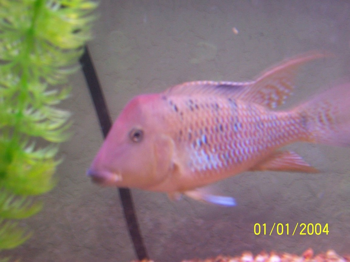 freshwater fish - geophagus steindachneri - red-hump eartheater stocking in 55 gallons tank - red hump geogopherous