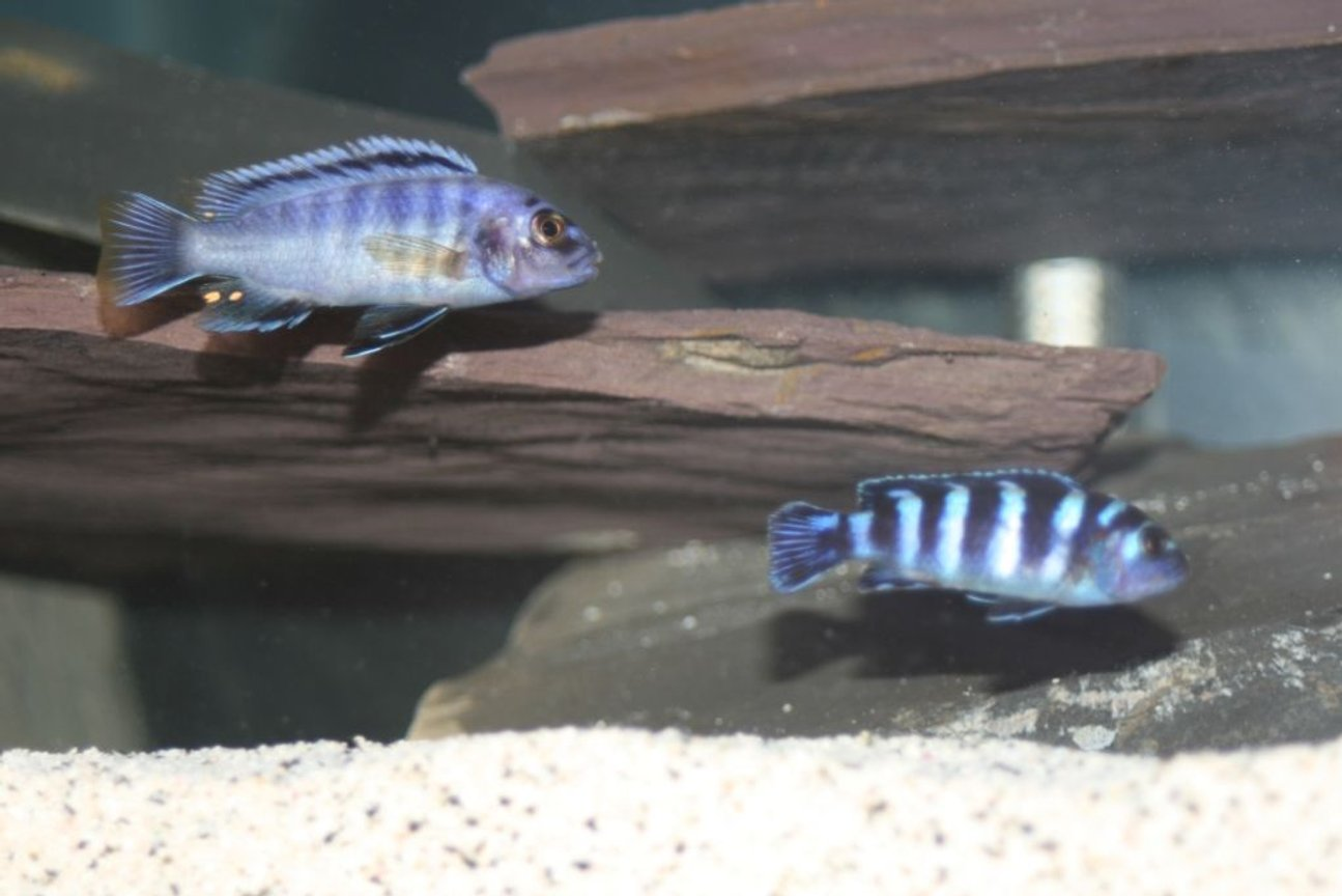 freshwater fish - pseudotropheus demasoni - demasoni cichlid stocking in 55 gallons tank - gigas mara and demasoni