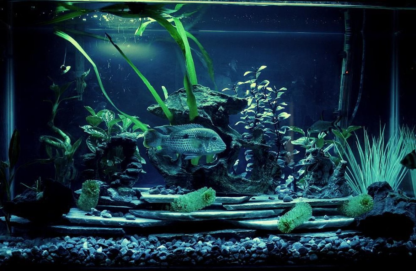 freshwater fish - aequidens rivulatus - green terror stocking in 29 gallons tank - 30 gallon freshwater just redone with new bed rock and slate.