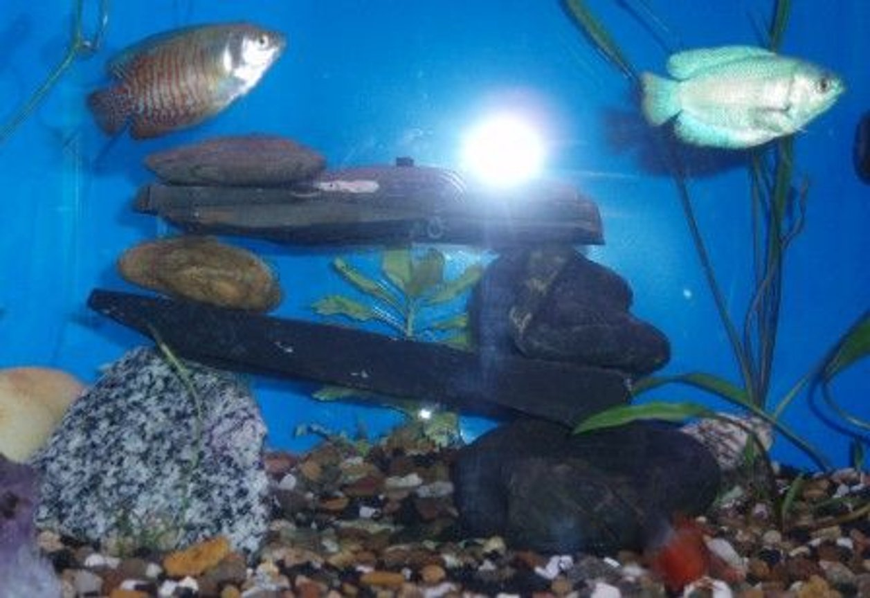 freshwater fish - colisa lalia - powder blue dwarf gourami stocking in 55 gallons tank - The Gouramis April09