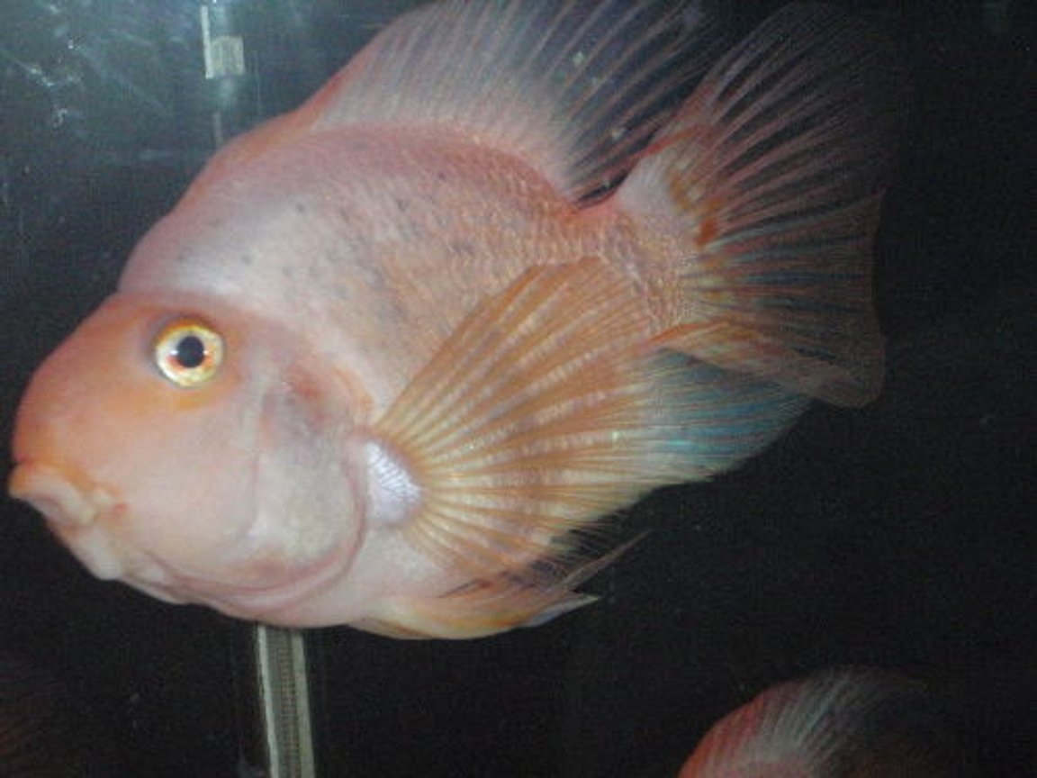 "freshwater fish - heros severus x amphilophus citrinellum - blood parrot stocking in 55 gallons tank - 8"" parrot"