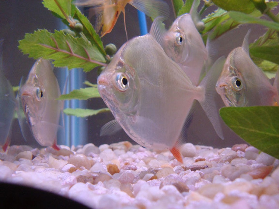 freshwater fish - metynnis argenteus - silver dollar stocking in 55 gallons tank - Nervous Silver Dollars