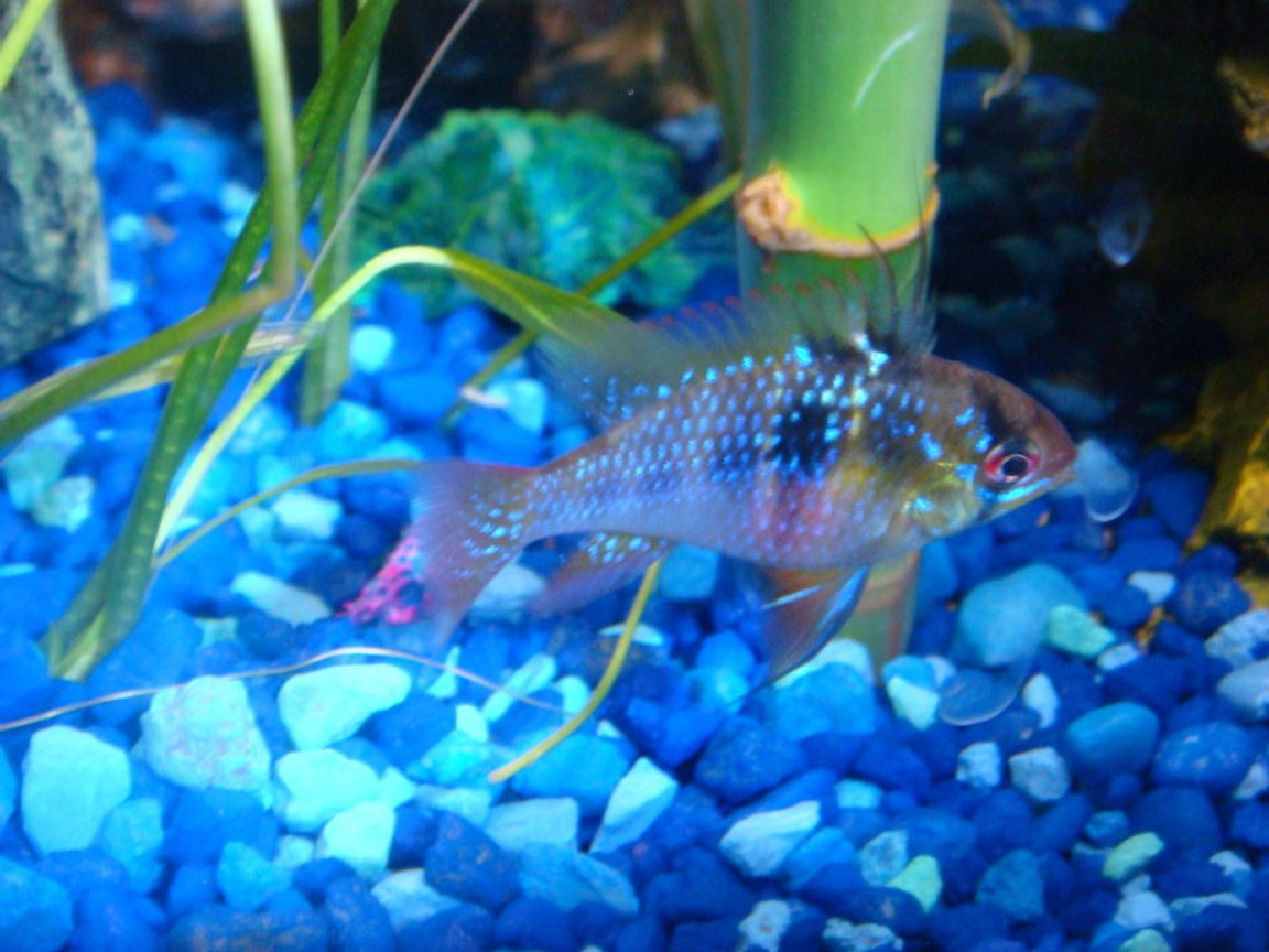 freshwater fish - papiliochromis ramirezi - german blue ram stocking in 30 gallons tank - German Blue Ram