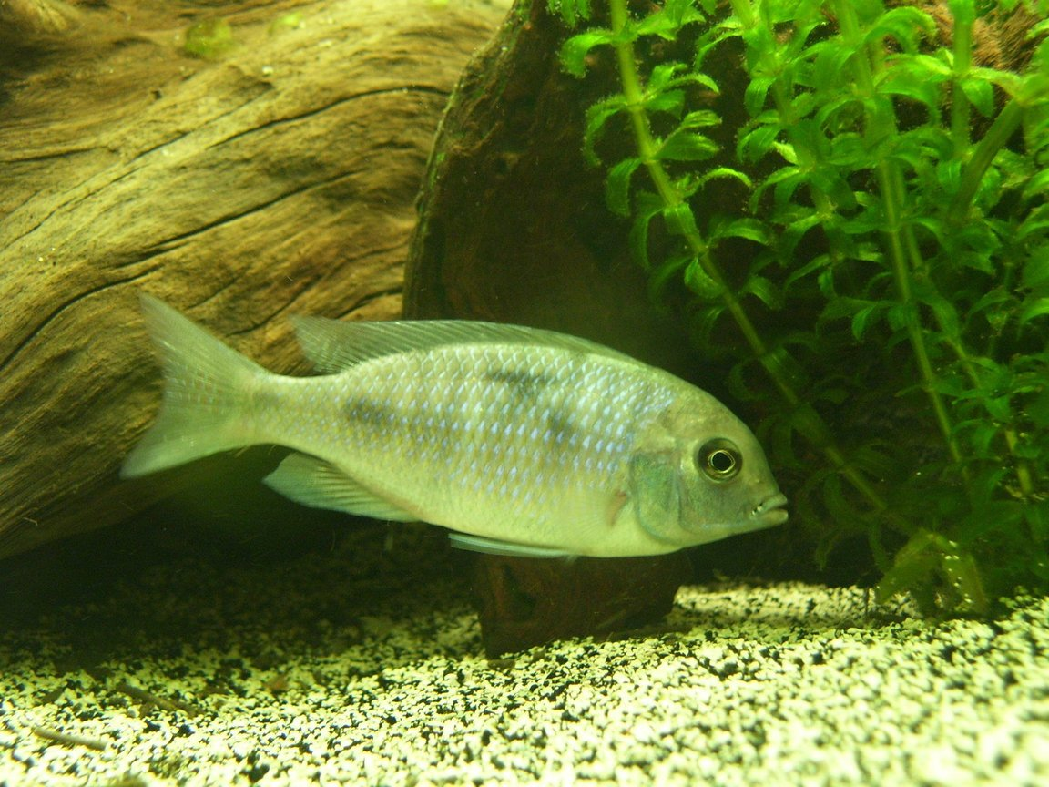 freshwater fish - cyrtocara moorii - blue dolphin cichlid stocking in 150 gallons tank - Malawi Blue Dolphin - Juvenile