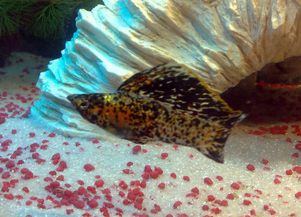 freshwater fish - poecilia latipinna - dalmatian molly stocking in 57 gallons tank - My Marble Sailfin Molly