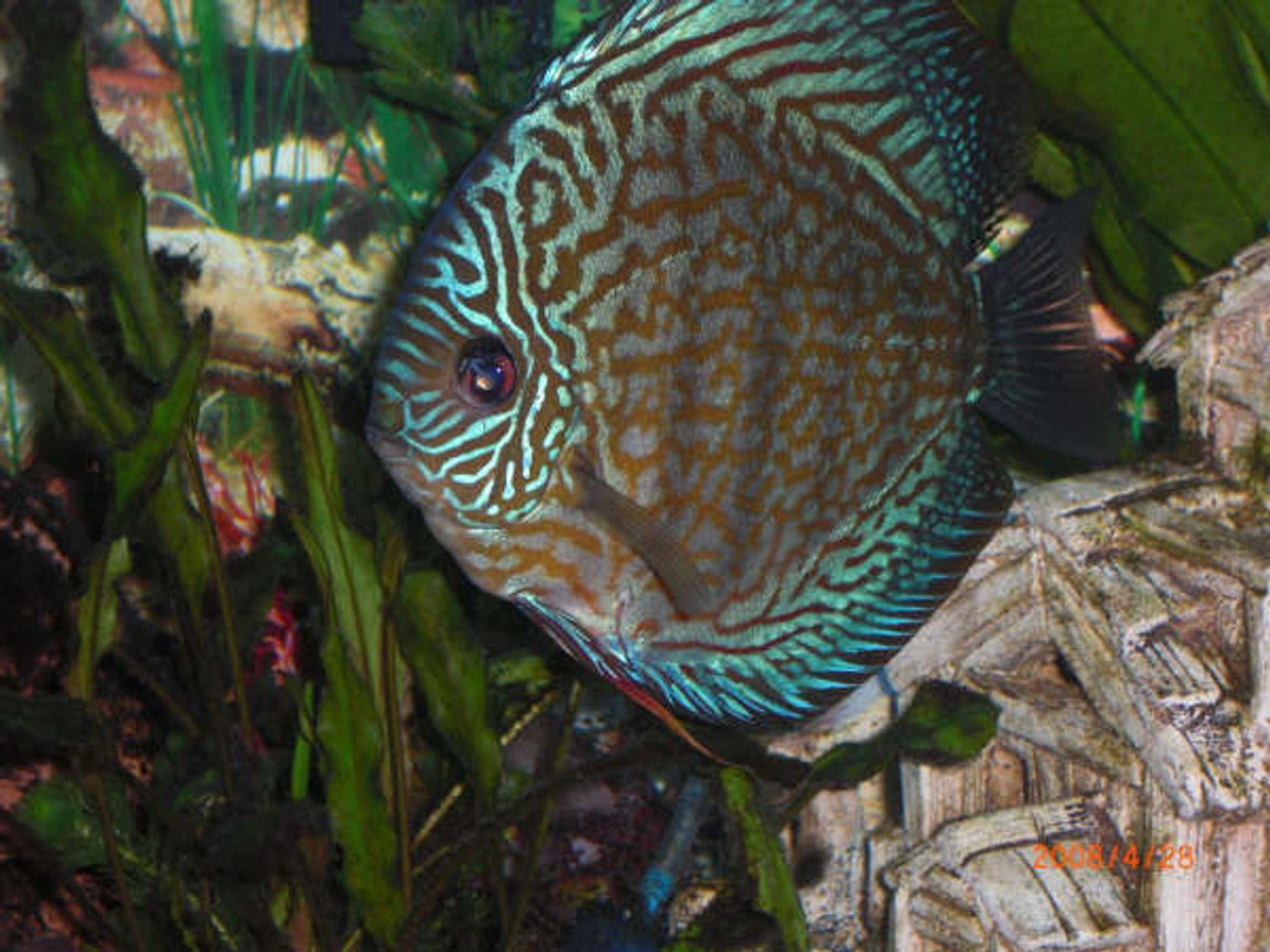 freshwater fish - symphysodon spp. - blue turquoise discus stocking in 55 gallons tank - blue Turquoise Discus