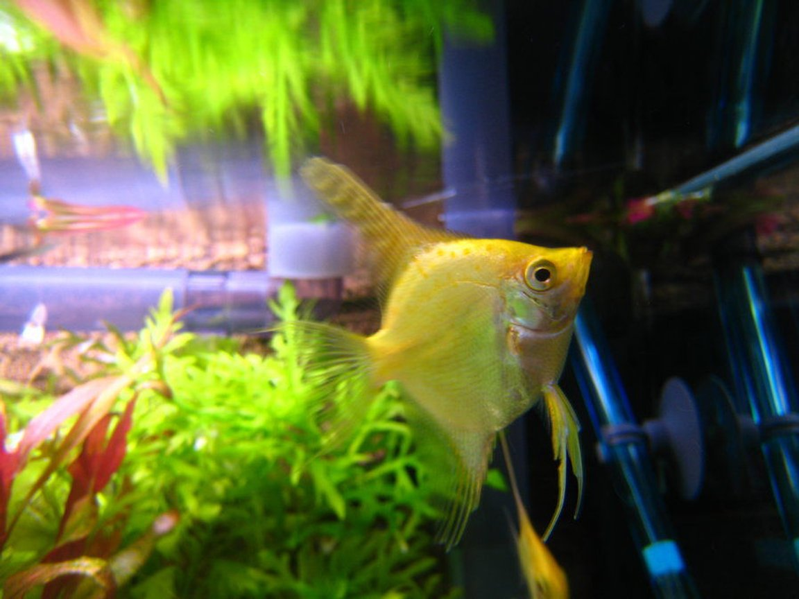 freshwater fish - pterophyllum sp. - gold veil angel stocking in 32767 gallons tank - an angelfish^^