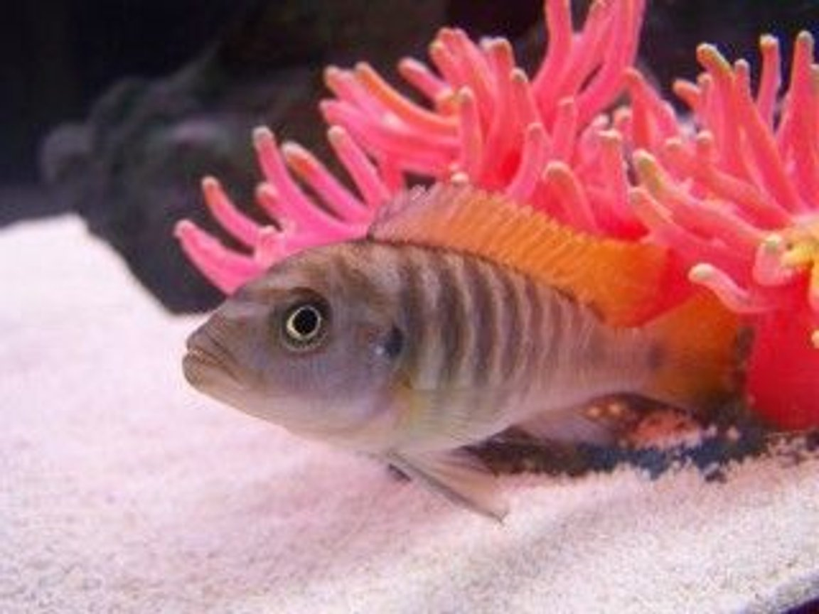 freshwater fish - metriaclima greshakei - ice blue red top zebra stocking in 33 gallons tank - My Lake Malawi Cichlid Max