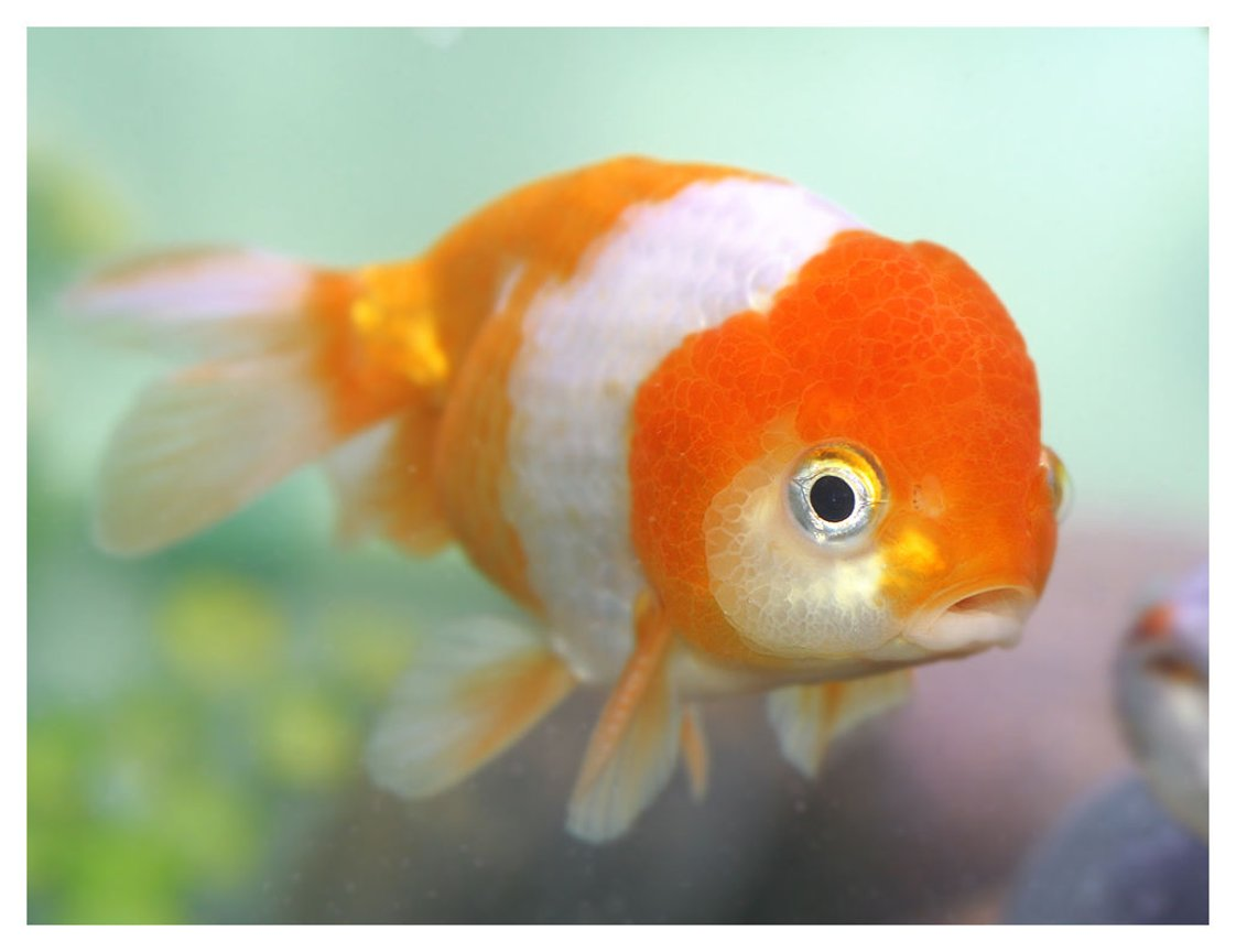 freshwater fish - carassius auratus - oranda goldfish stocking in 72 gallons tank - red and white lionhead
