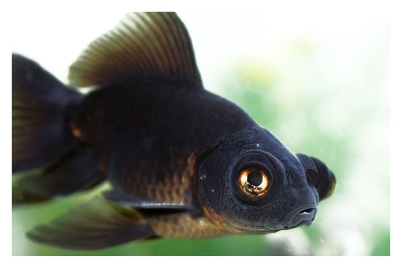 freshwater fish - carassius auratus - black moor goldfish stocking in 72 gallons tank - black moor