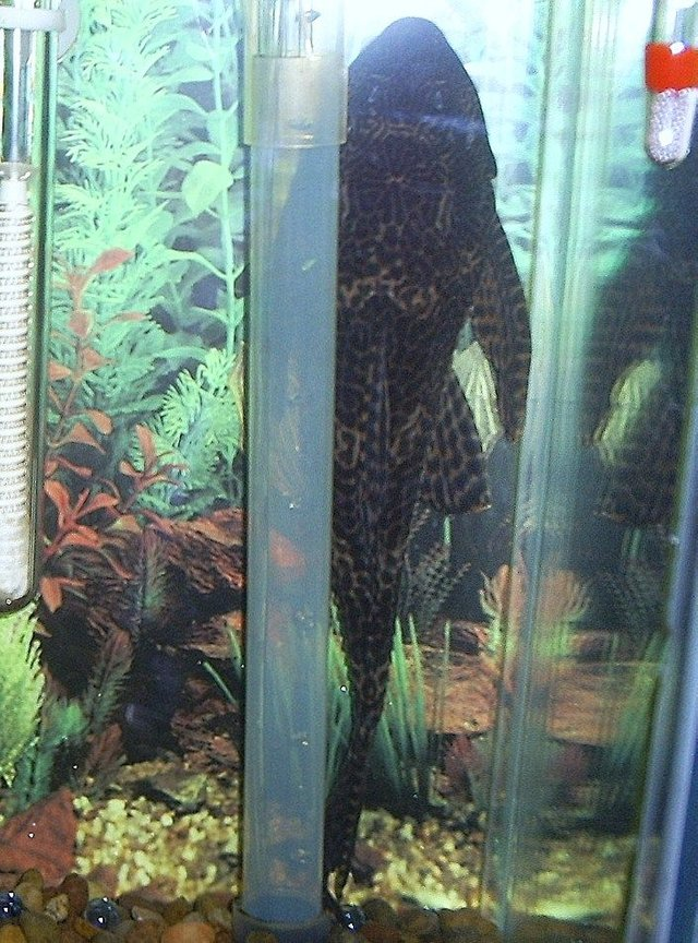 freshwater fish - glyptoperichthys gibbiceps - sailfin pleco (l-83) stocking in 29 gallons tank - 11 1/2 in algea eater. almost 4 yrs old
