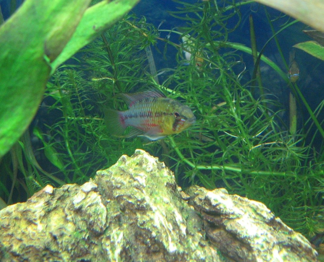freshwater fish - apistogramma hongsloi - redstripe dwarf cichlid stocking in 40 gallons tank - Apistogramma Hongsloi- The King of the Tank