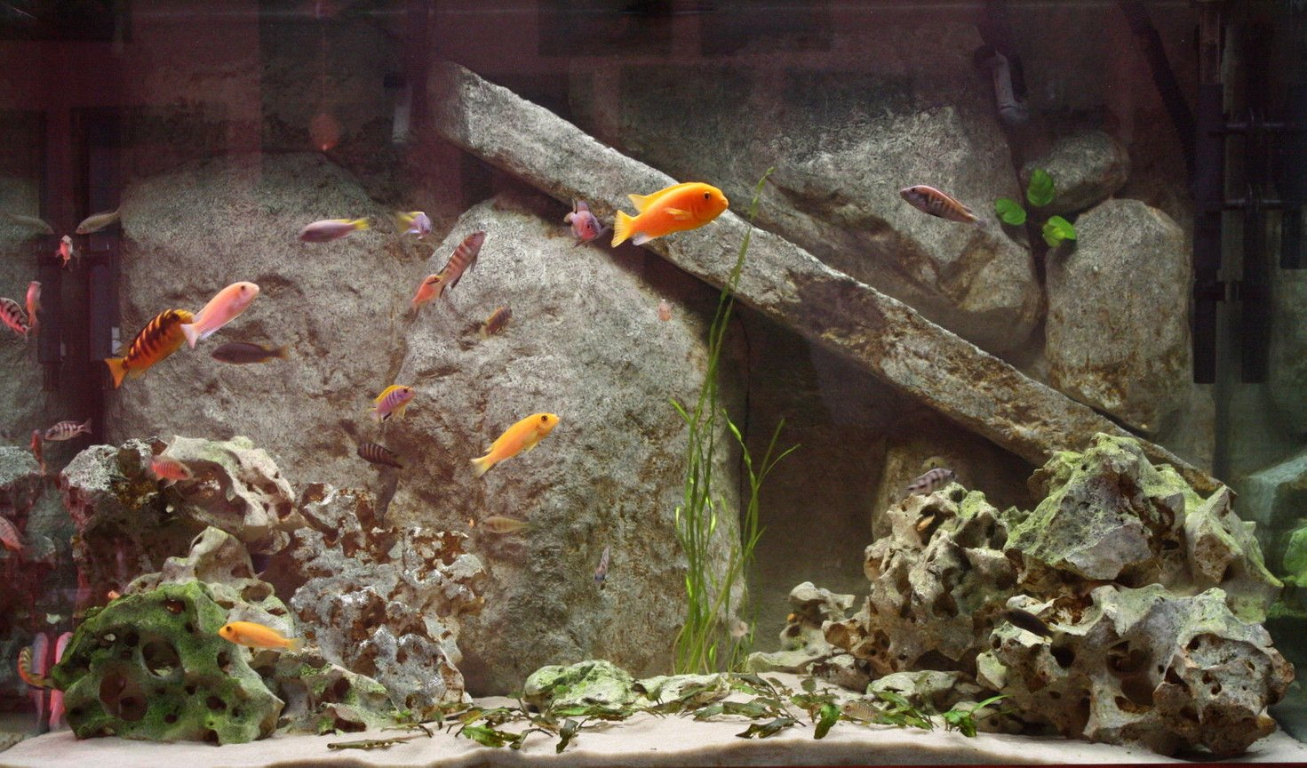 freshwater fish - pseudotropheus estherae - red zebra cichlid stocking in 150 gallons tank - 150 gallon mixed african cichlid tank.