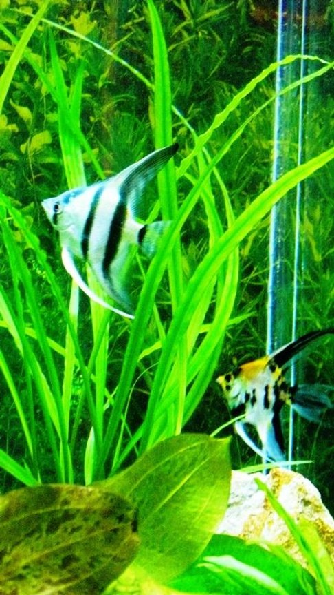 freshwater fish - pterophyllum sp. - koi angel stocking in 60 gallons tank - My two Angels!
