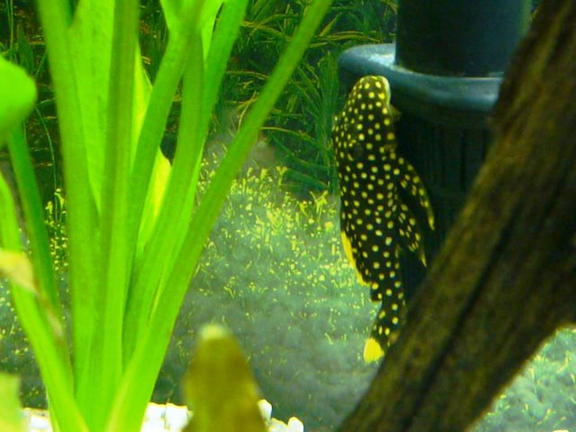 freshwater fish - baryancistrus sp. - gold nugget pleco (l-18) stocking in 60 gallons tank - Gold Nugget Pleco