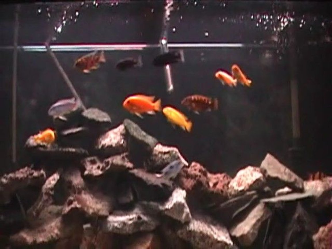 freshwater fish - pseudotropheus crabro - bumblebee cichlid stocking in 120 gallons tank - Close up...