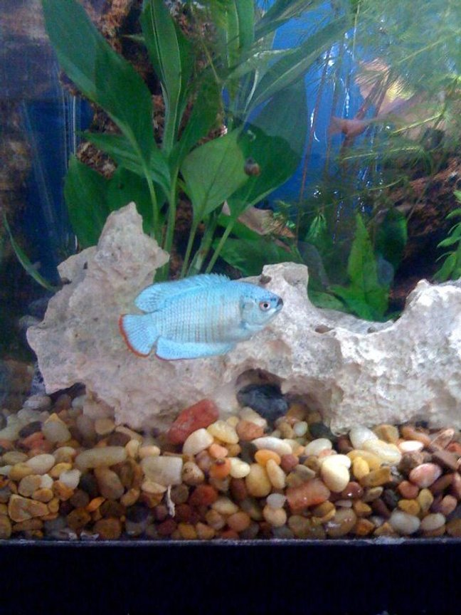 freshwater fish - colisa lalia - powder blue dwarf gourami stocking in 30 gallons tank - Dwarf Gourami