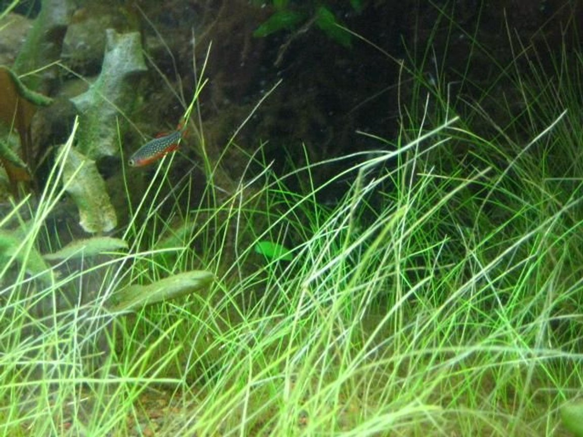 freshwater fish - celestichthys margaritatus - celestial pearl danio stocking in 24 gallons tank - more of my galaxy danios