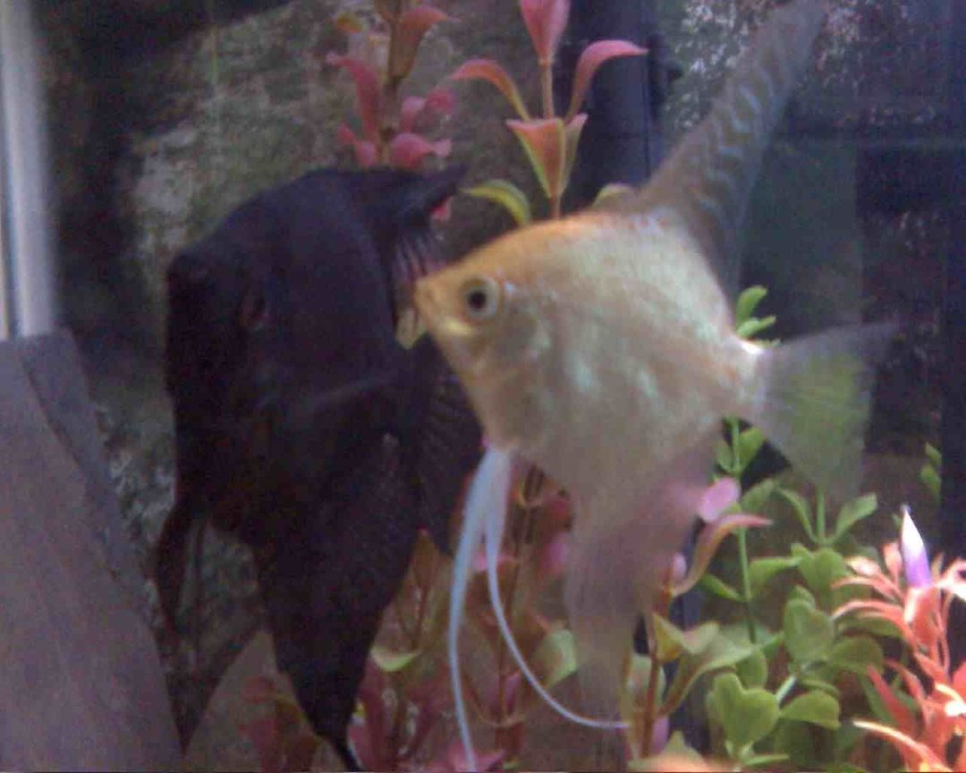 freshwater fish - pterophyllum sp. - gold veil angel stocking in 45 gallons tank - my first breeding pair!