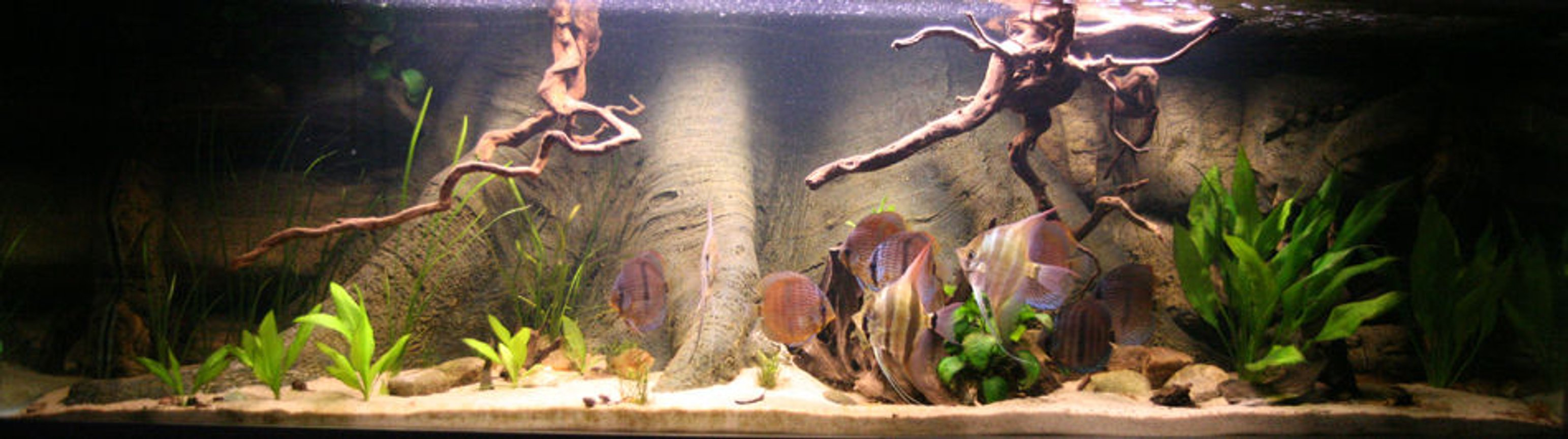 freshwater fish - pterophyllum sp. - white blushing angel stocking in 187 gallons tank - Tank in evening light.