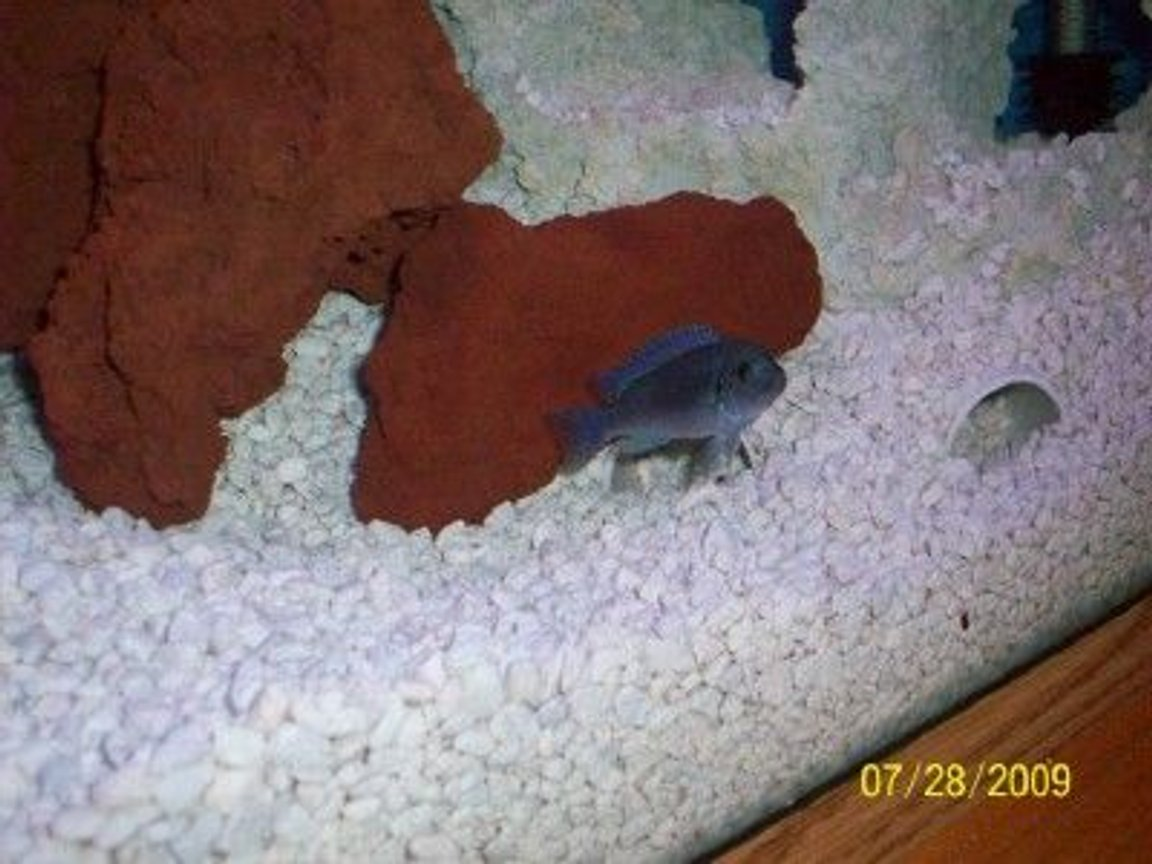 freshwater fish - maylandia callainos - blue cobalt cichlid stocking in 55 gallons tank - Cobalt by tunnel
