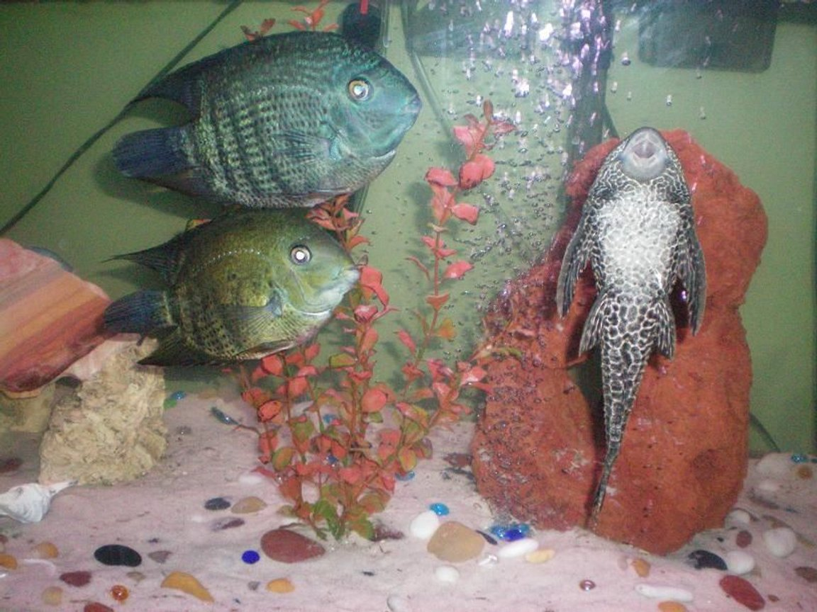 freshwater fish - heros serverus - green severum stocking in 100 gallons tank - Our large Pleco and 'The Duo' (pair of Green Severum Cichlids)
