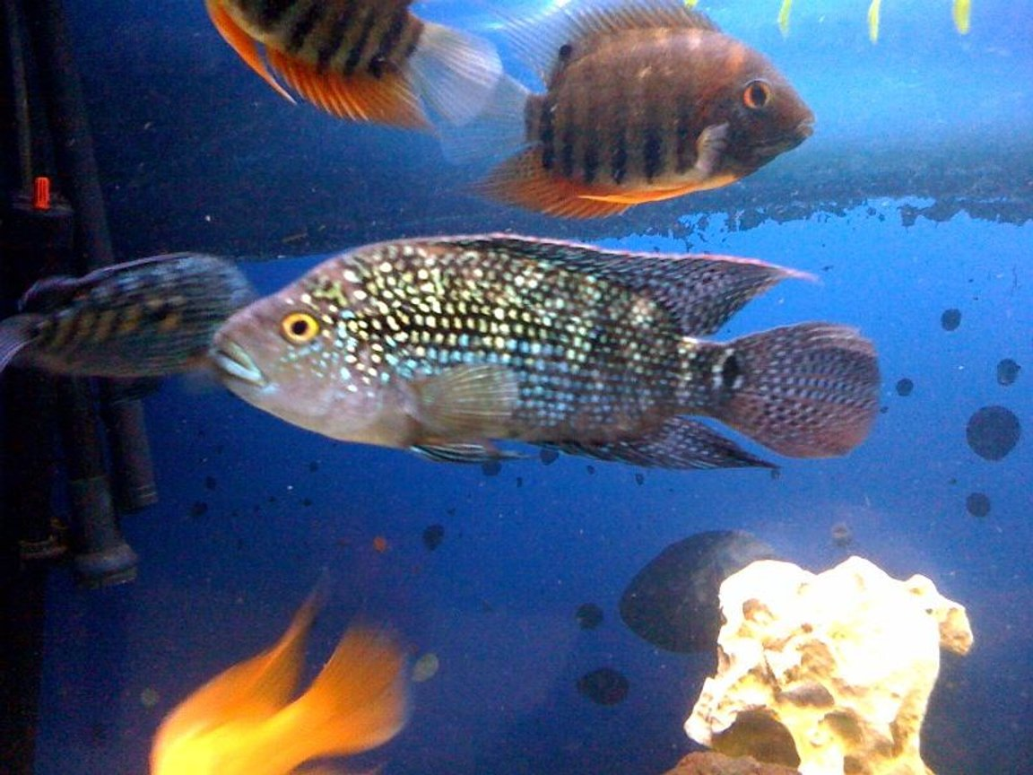 freshwater fish - nandopsis octofasciatum - jack dempsey stocking in 150 gallons tank - Jack dempsey and green severum