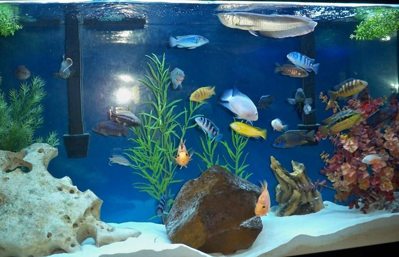 freshwater fish - labidochromis caeruleus - electric yellow cichlid stocking in 60 gallons tank - full view